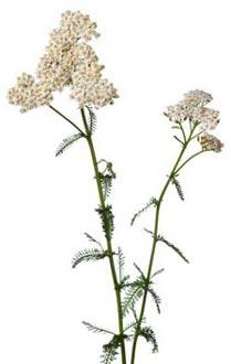 coada-soricelului-planta-proprietati-si-beneficii